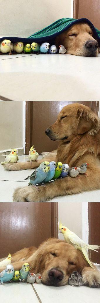 golden-retriever-friends-birds