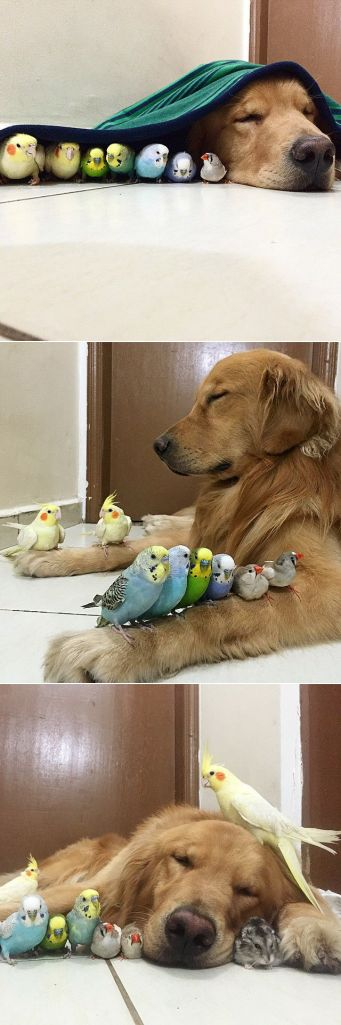 golden-retriever-friends-birds