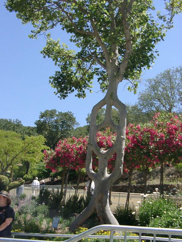 shaped-tree-011